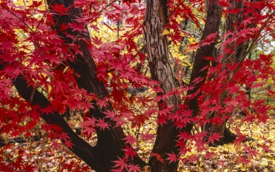 Will Japanese Maple Trees Grow In Brisbane?
