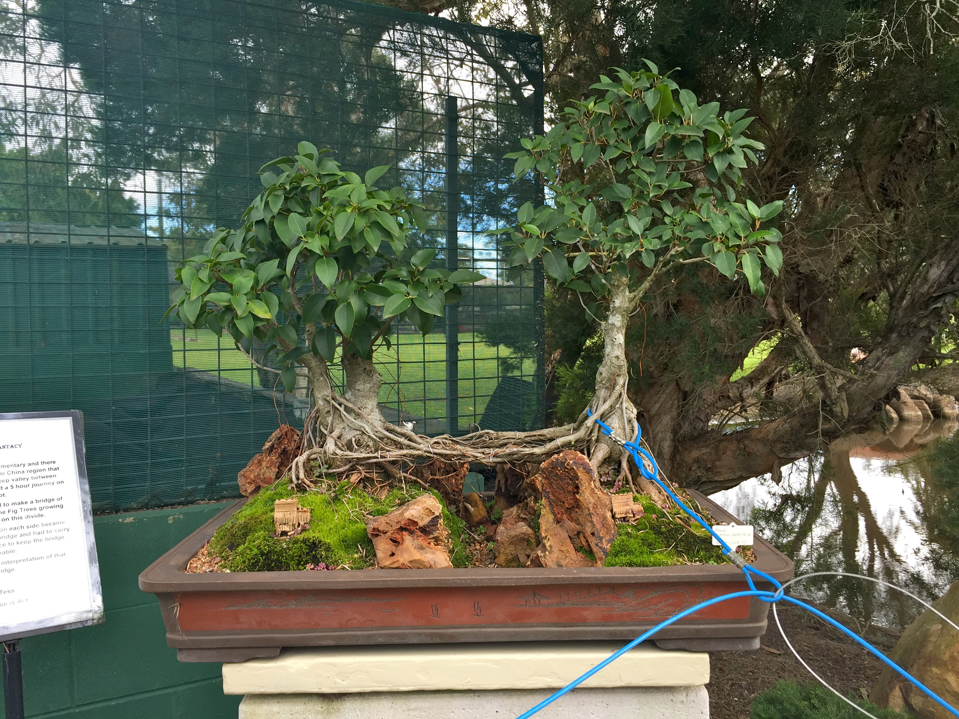 Bonsai Tree for sale at Bonsai Northside Nursery, Brisbane © GreenSocks