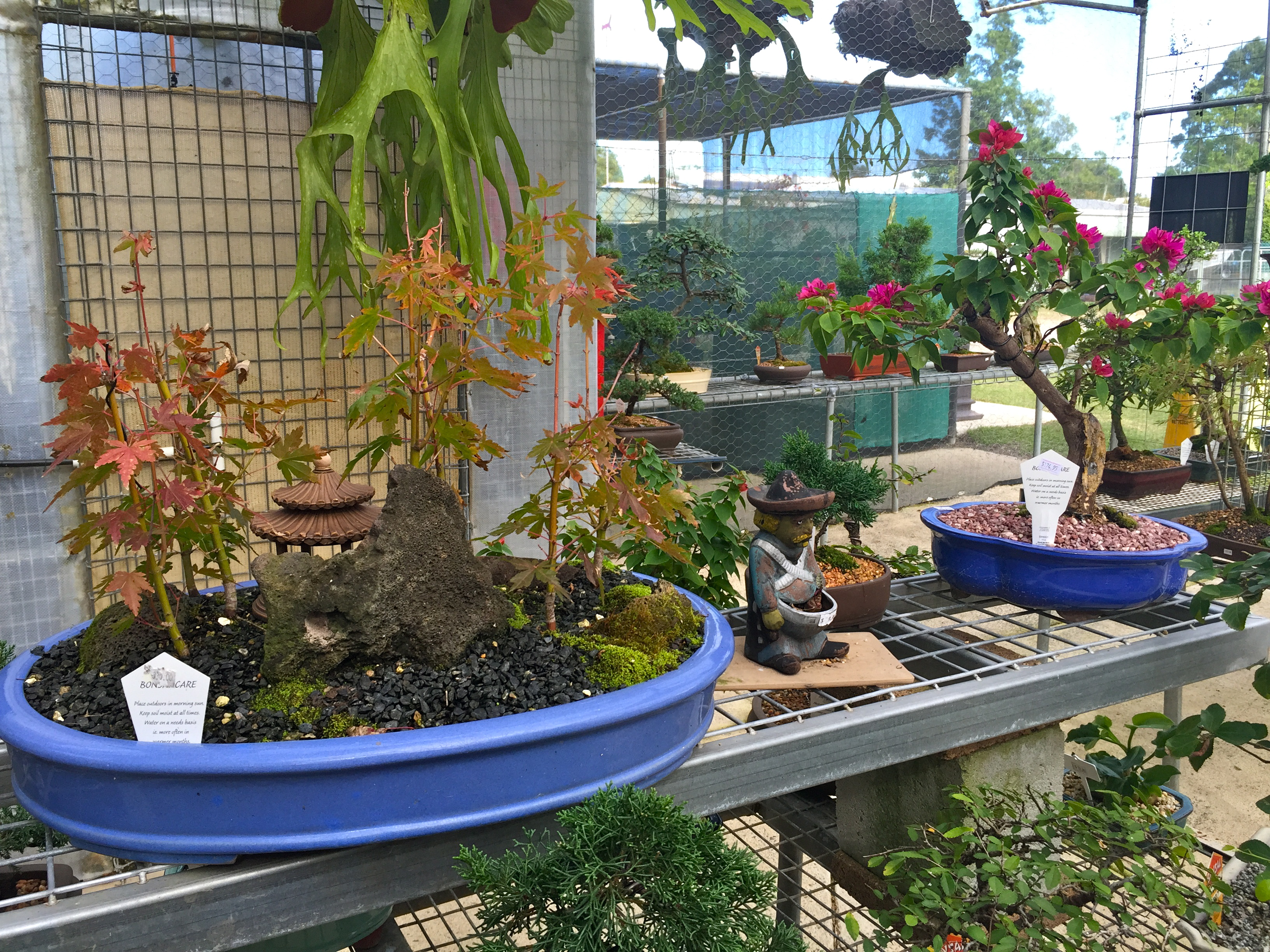 Affordable bonsai trees at Bonsai Northside, Brisbane. © GreenSocks