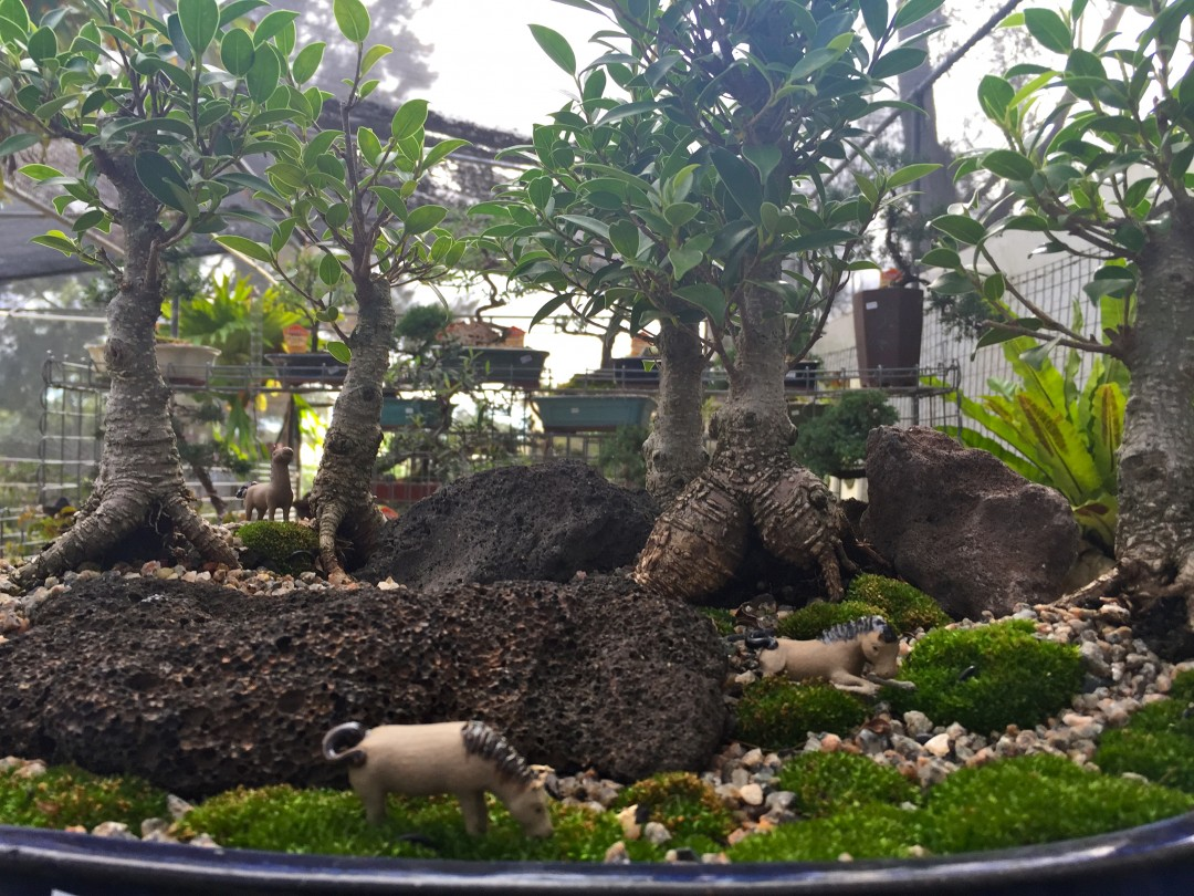Where Can I Find Bonsai For Sale in Brisbane?