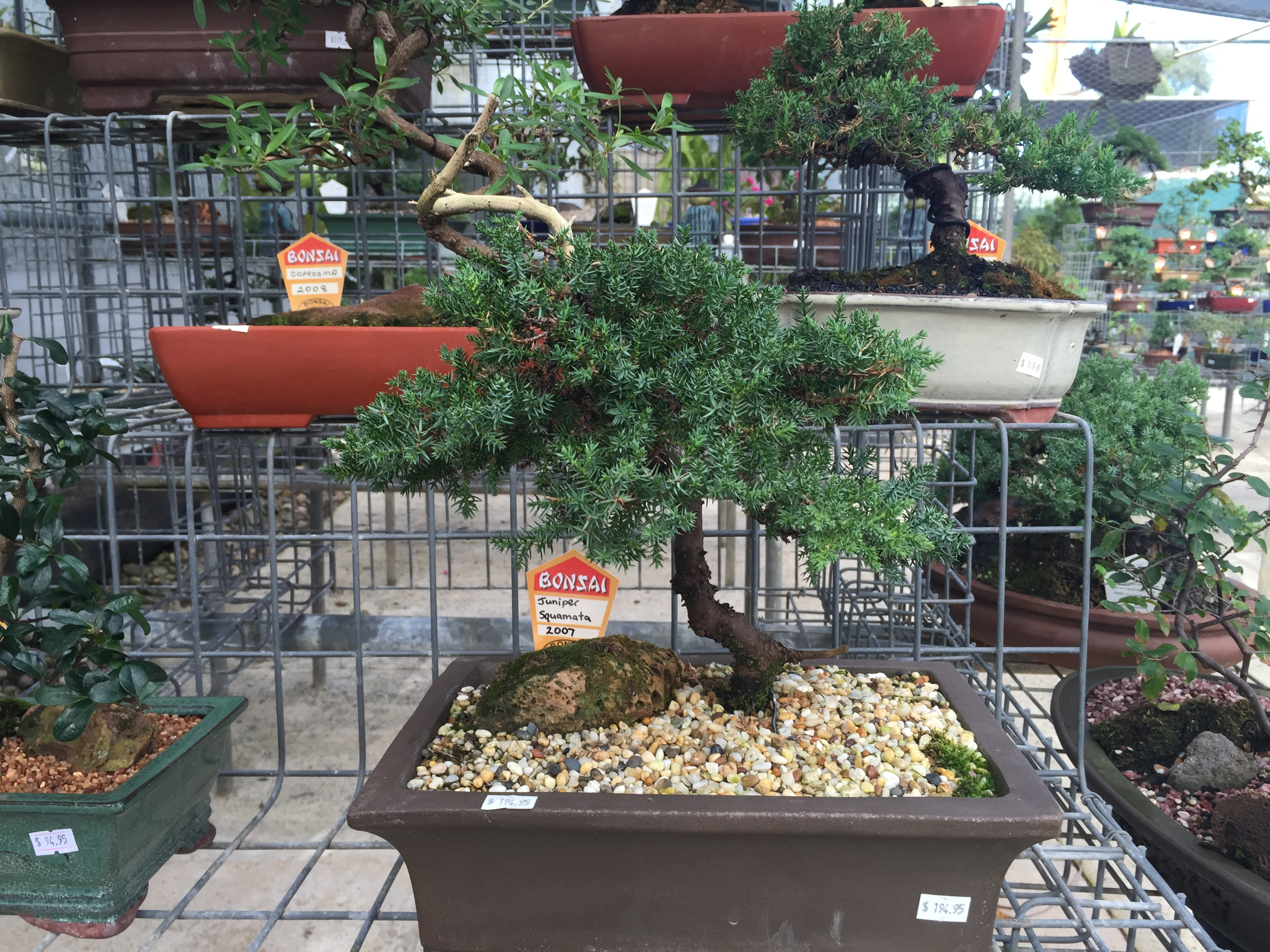 Affordable bonsai for sale at Bonsai Northside, Brisbane. © GreenSocks