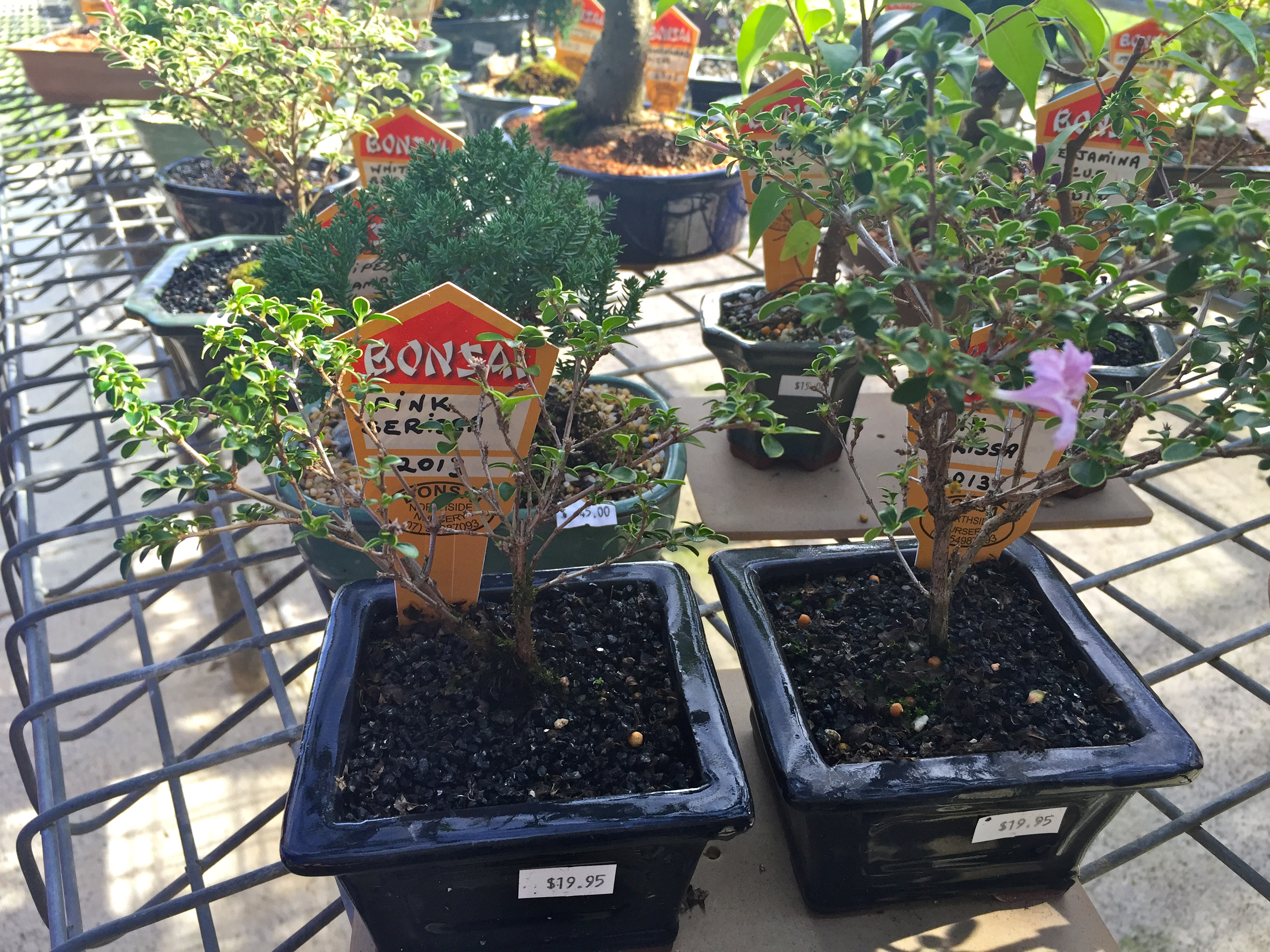 These small Bonsai plants start at $20 at Bonsai Northside Nursery. © GreenSocks