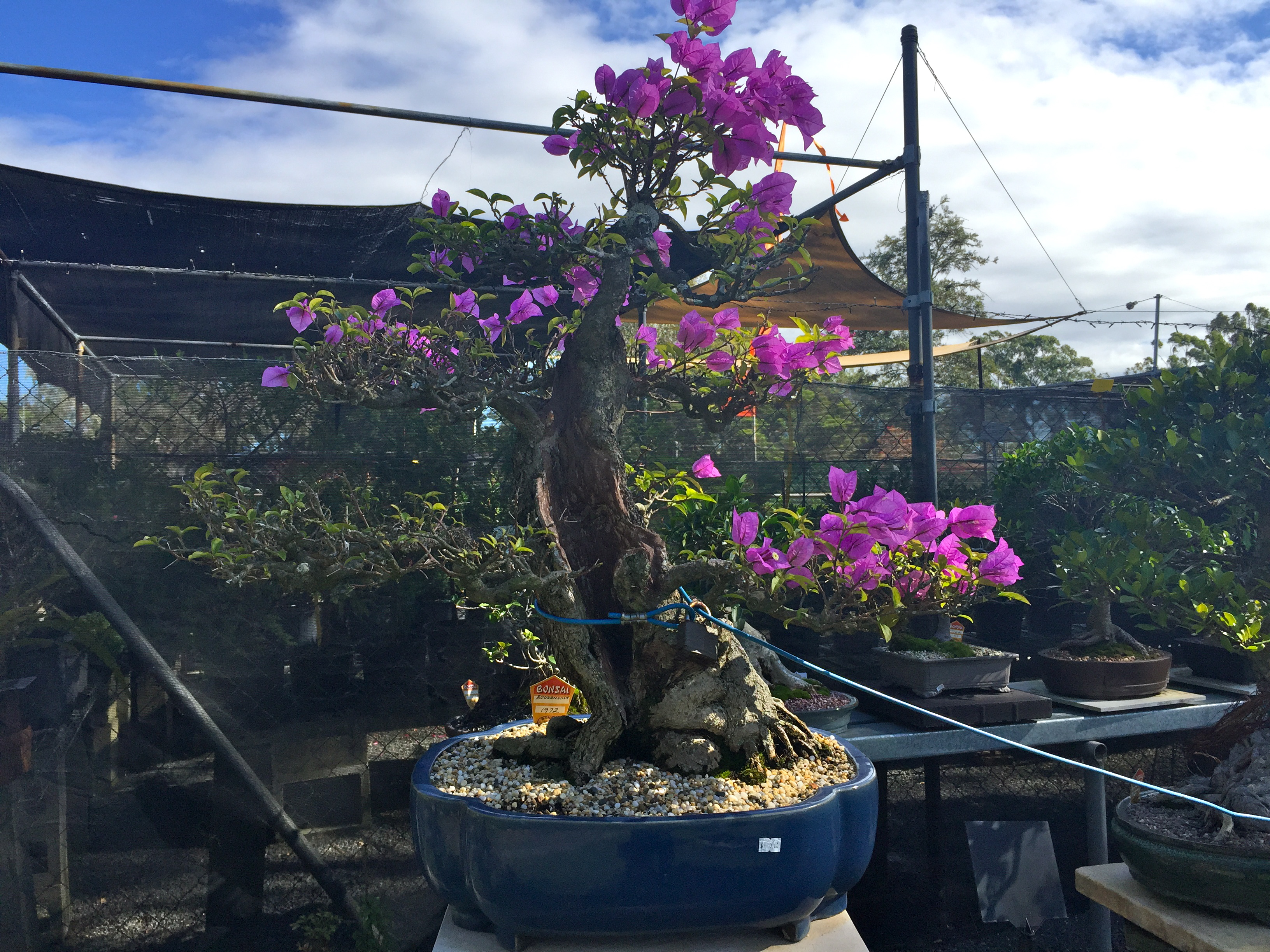 A gorgeous, flowering, Bonsai Tree for sale at Bonsai Northside Nursery, Brisbane © GreenSocks
