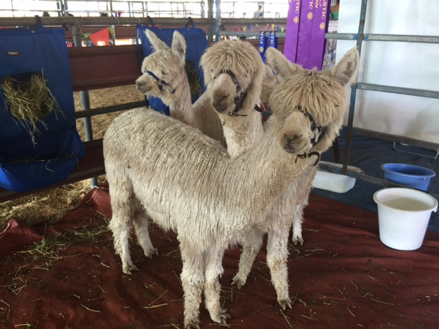 Lawn Mowers and Alpacas at the Farm Fantastic Expo
