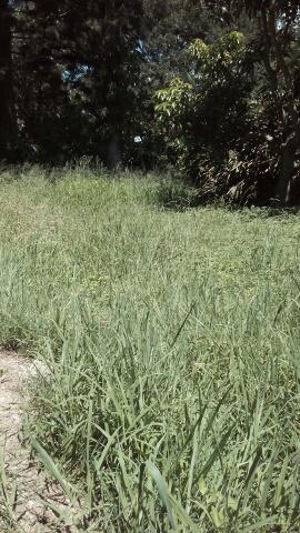 """Before"" photo of a lawn mowed in Ashgrove Brisbane © GreenSocks"